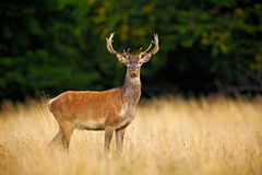 Bellow majestic powerful adult red deer stag outside autumn forest, Dyrehave, Denmark Royalty Free Stock Images