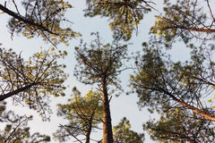 Bellow Pine Trees Royalty Free Stock Photography