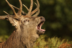 A bellowing Red Deer Stag (Cervus elaphus) . Stock Photos