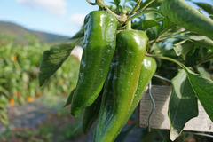 Bellpepper Stock Photography