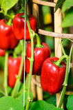 Bellpepper. Vegetable of Thailand agricuture Stock Photography