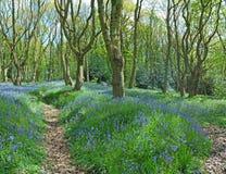 Bells bleues le long des chemins de régfion boisée Image libre de droits