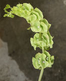 Bells Of Ireland, Shell Flower, Moluccella Laevis Stock Image
