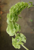Bells Of Ireland, Shell Flower, Moluccella Laevis Royalty Free Stock Photo