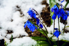 Bells in the snow. the primroses.flowers and snow Royalty Free Stock Photo