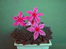 Bellum de floraison de Graptopetalum. Images libres de droits