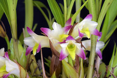 Bellus de Bothriochilus d'orchidée Photographie stock libre de droits