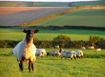 Bellwether. The sheep has strayed from the flock Royalty Free Stock Images