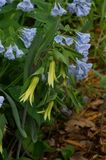 Bellwort in natural setting. The Uvularia perfoliata or perfoliate bellwort, is a perennial forb native to the eastern United States and Canada, which produces stock photography
