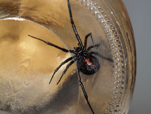 Belly of black widow spider through glass. Black widow spider in glass jar belly Stock Photo