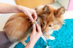 Belly circumference is measured with a tape measure on a dog. A Belly circumference is measured with a tape measure on a dog royalty free stock photography