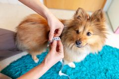 Belly circumference is measured with a tape measure on a dog. A Belly circumference is measured with a tape measure on a dog royalty free stock photos
