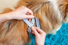 Belly circumference is measured with a tape measure on a dog. A Belly circumference is measured with a tape measure on a dog stock image