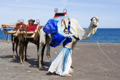 Belly Dancer and Camel Train. Belly Dancer with Camel Train on a Beach Stock Photo
