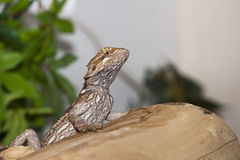 Belly markings of a bearded dragon. Juvenile, female bearded dragon on log showing dark belly markings of an unhappy dragon Royalty Free Stock Images