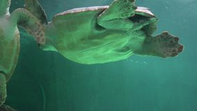 Belly Of Swimming Sea Turtle stock video footage