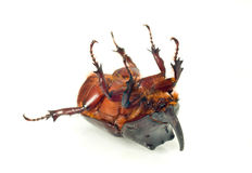 Belly of unicorn or rhinoceros beetle Royalty Free Stock Photography