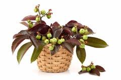 Bellyache bush. Stock Photography