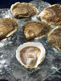 Belon flat oysters Royalty Free Stock Images