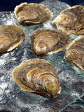 Belon flat oysters Stock Photos