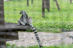 Straddle-Ring-tailed lemur-Lemur catta. Belonging to primate primates, with long kisses and two lateral eyes resembling fox, named for its tails. There are 5-20 Royalty Free Stock Images