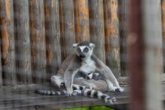 Straddle-Ring-tailed lemur-Lemur catta. Belonging to primate primates, with long kisses and two lateral eyes resembling fox, named for its tails. There are 5-20 Royalty Free Stock Image