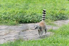 Erect a tail-Ring-tailed lemur-Lemur catta. Belonging to primate primates, with long kisses and two lateral eyes resembling fox, named for its tails. There are 5 Stock Photo