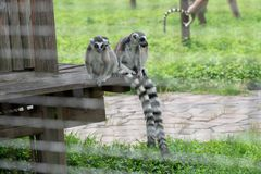 Family Party-Ring-tailed lemur-Lemur catta. Belonging to primate primates, with long kisses and two lateral eyes resembling fox, named for its tails. There are 5 Stock Photography