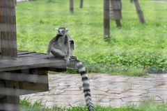 Straddle-Ring-tailed lemur-Lemur catta. Belonging to primate primates, with long kisses and two lateral eyes resembling fox, named for its tails. There are 5-20 Stock Images