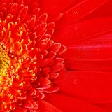 Macro  Gerbera Flower Capitulum Royalty Free Stock Photography
