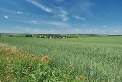 Belorussian landscape blue cloudy sky a. Nd green corn field Royalty Free Stock Image