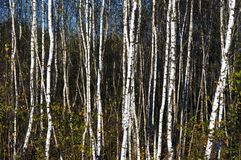 Belorussian swamp little birch background Stock Photos