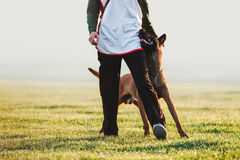 Beloved dog breed Belgian shepherd dog walks next to man and looks in the eyes. Training with raspberry on a blurred background on the field Royalty Free Stock Photos