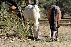 Salt River Canyon Wild Horses Stock Photography