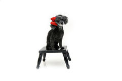 Beloved Pet Poodle Royalty Free Stock Image