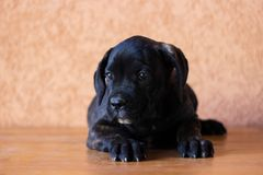 Beloved Puppy royalty free stock photo