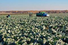 BELOVO,俄罗斯2015年10月20日:农夫收获圆白菜 库存图片