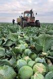 BELOVO,俄罗斯2015年10月20日:农夫收获圆白菜 免版税图库摄影