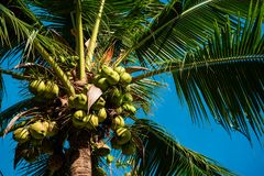 Green coconuts growing on palm. From below shot of raw green coconuts on tropical palm in bright sunlight, Thailand royalty free stock image