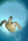 Below view of a swimming hawksbill turtle Royalty Free Stock Images