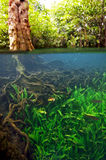Below the water of a mangrove tree with roots in Thapom lagoon, Stock Photography