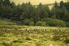 Belted Galloway Beef Stock Photos