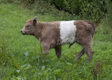 Belted Galloway Calf Royalty Free Stock Photo