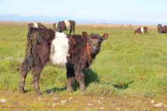 Belted Galloway Calf. A Belted Galloway calf stands in the mud flats looking at the photographer Stock Image