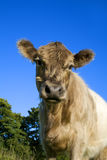 Belted Galloway calves Royalty Free Stock Photo