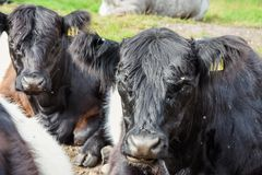 Belted Galloway Cattle, Cannock Chase. Some of the Belted Galloway cattle that have been introduced onto Cannock Chase Area of Outstanding Natural Beauty to Royalty Free Stock Image
