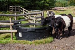Belted Galloway Cattle Drinking, Cannock Chase Stock Images