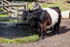 Belted Galloway Cattle Drinking, Cannock Chase Stock Photo