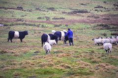 Belted Galloway Cattle and sheep Royalty Free Stock Photo