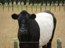Belted Galloway Cow. In a dry summer paddock Stock Images